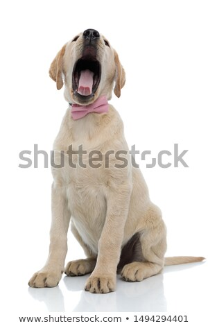 seated yellow labrador retriever with mouth open Stock photo © feedough