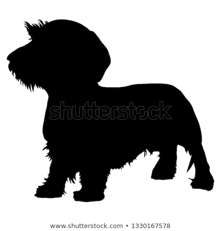 Stock photo: Wired hair dachshund portrait in white background