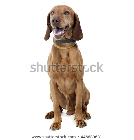 beautiful hungarian vizsla enjoy photo shoot in white studio stock photo © vauvau