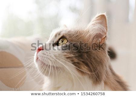 Grau Kitty Porträt nice wenig Stock foto © cosma