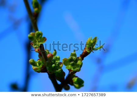 Ciliegio bud macro shot primavera tempo Foto d'archivio © hamik