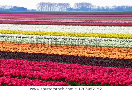 Lungo arancione tulipani Holland campo parco Foto d'archivio © compuinfoto