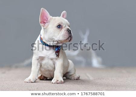 francia · bulldog · kutya · nyakkendő · fehér · háttér - stock fotó © OleksandrO