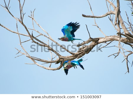 Lilac-breasted roller on a tree trunk. stock photo © simoneeman