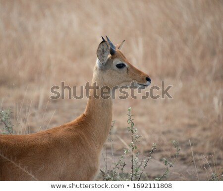 Side profile of a young Impala. Stock photo © simoneeman