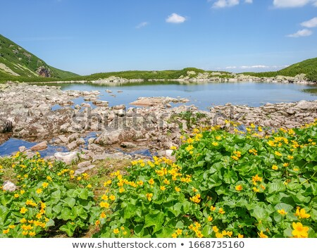 Yellow kingcup flowers growing at lake shore stock photo © Mps197