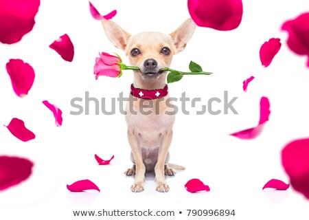Foto stock: Casamento · cão · poodle · ilustração · amor · casal