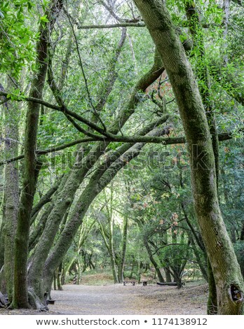 Californie laurier arbre tunnel caché villa Photo stock © yhelfman