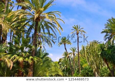 Elche El Palmeral, palm grove near Alicante Stock photo © LianeM