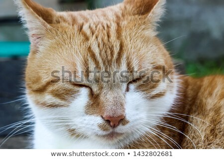 Stock photo: close up of red tabby cat