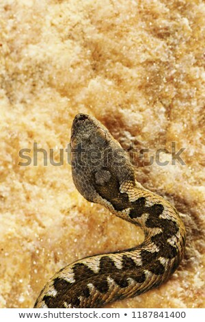 detail of Vipera ammodytes in natural habitat Stock photo © taviphoto