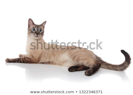 side view of burmese cat resting and looking behind Stock photo © feedough