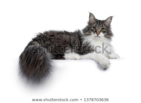 young adult norwegian forestcat on white stock photo © catchyimages