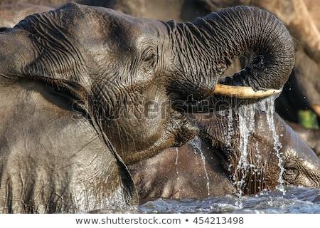 слон питьевая вода парка ЮАР природы власти Сток-фото © simoneeman