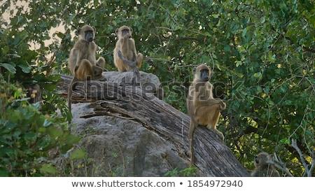 Сток-фото: Group Of Wild Monkeys Sitting On Rock