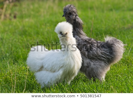 silkie chicken: gray rooster. Silkie - an unusual breed poultry with fluffy like wool feathers and b Stock photo © galitskaya