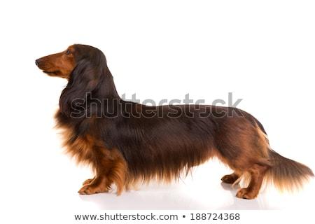 Adorable dachshund pie blanco ojo Foto stock © vauvau