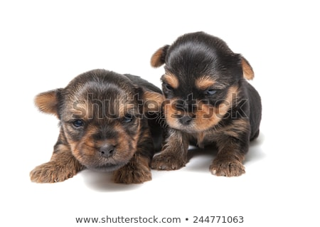 Studio shot of a blind Yorkshire terrier Stock photo © vauvau