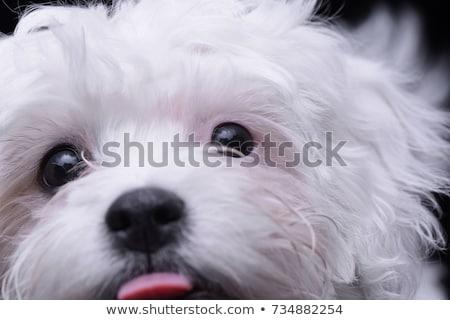 Adorável havanese cão em pé preto Foto stock © vauvau