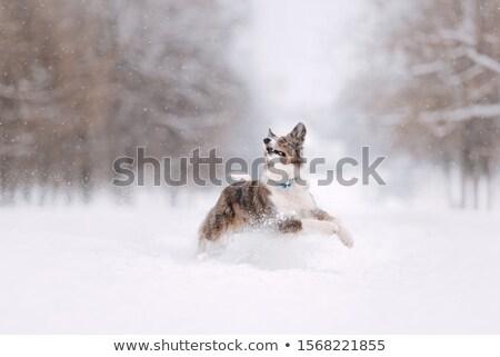 Cute собака прыжки снега вокруг глубокий Сток-фото © Alvinge