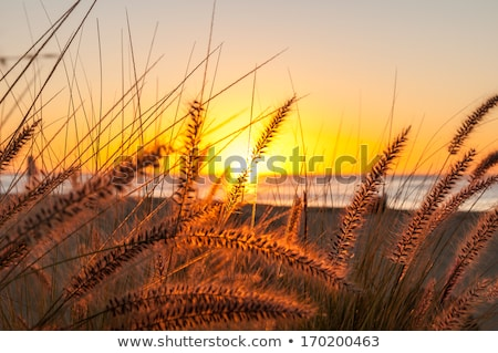 altın · gün · batımı · plaj · çim · rüzgâr - stok fotoğraf © frankljr