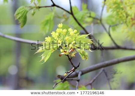 Maple flowers (Acer) Stock photo © rbiedermann