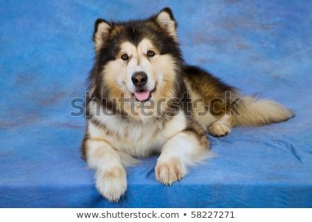 Alasca cão ver isolado Foto stock © eriklam
