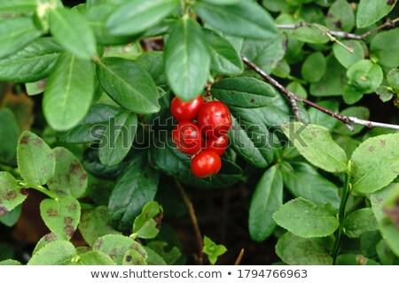 Cowberry close up Stock photo © pzaxe
