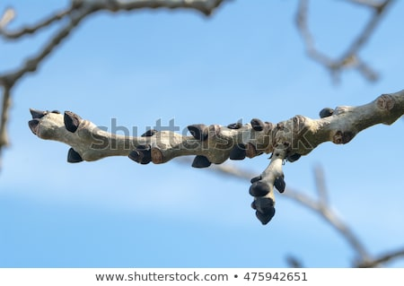 Stock photo: ash tree bud with leaves and flowers