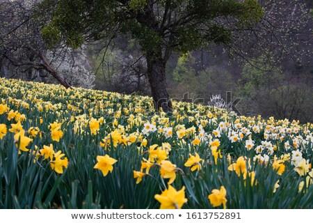Mystic daffodil Stock photo © Melpomene