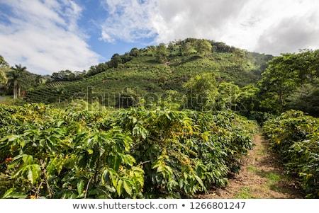 Costa Rica café plantação alto montanhas exemplo Foto stock © oliverjw