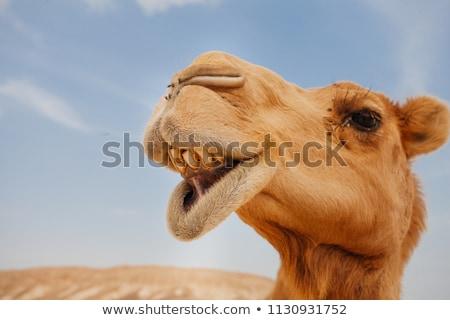 Hoofd kameel kamelen lichaam lopen Stockfoto © Roka