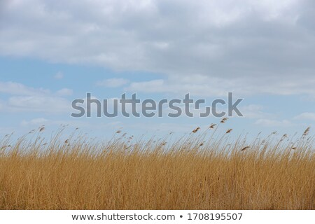 dried common reed on riverside in winter Stock photo © PixelsAway