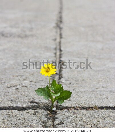 beautiful flowers growing on crack in old asphalt pavement stock photo © zhukow