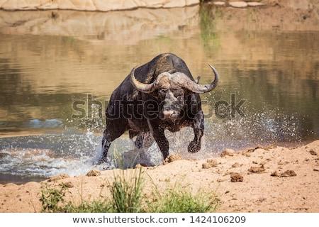 african buffalo bull stock photo © serendipitymemories