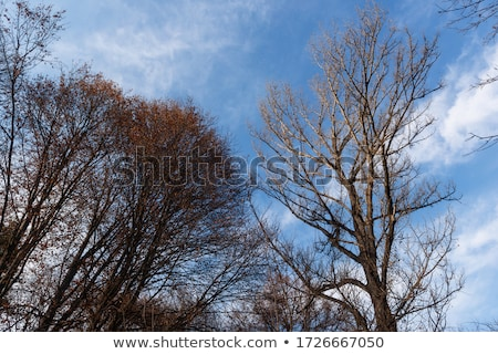 blue sky with structure of forest in wintertime Stock photo © meinzahn