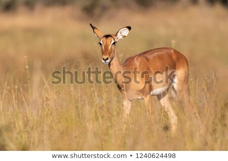 female impala stock photo © compuinfoto