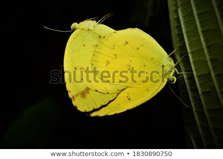 Common Grass Yellow butterfly mating Stock photo © Yongkiet