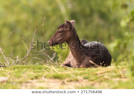 dark fallow deer fur stock photo © taviphoto