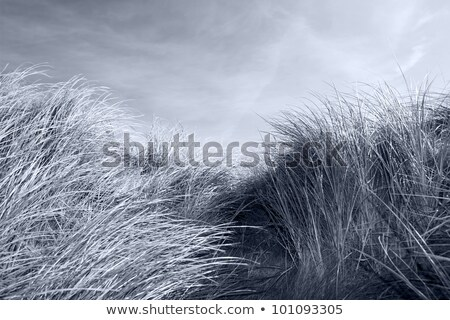 out from the sand dunes of Beal Stock photo © morrbyte