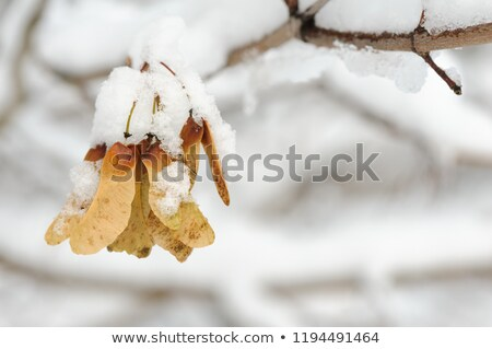 Ice Covered Maple Key Stock photo © ca2hill