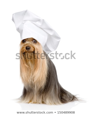 Cute yorkshire aanbiddelijk portret chef Stockfoto © tobkatrina