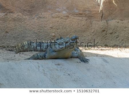 Crocodil deschide gură odihna apă fermă Imagine de stoc © Witthaya