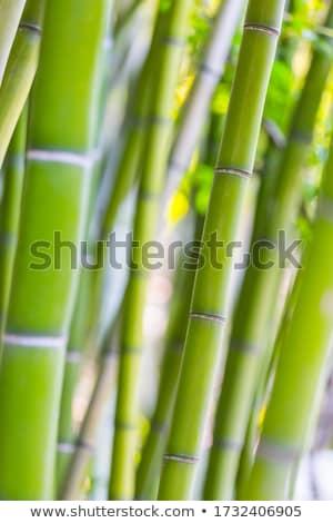 Bambusz szár friss zöld bot izolált Stock fotó © PetrMalyshev