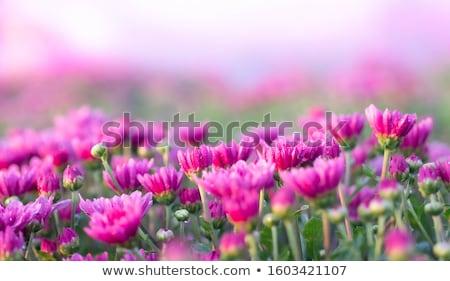 campo · rosa · crisantemo · flor · primavera · naturaleza - foto stock © oleksandro