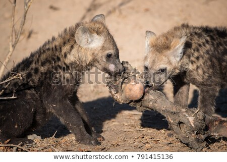 Spotted hyena chewing on meat in the Kruger. Stock photo © simoneeman