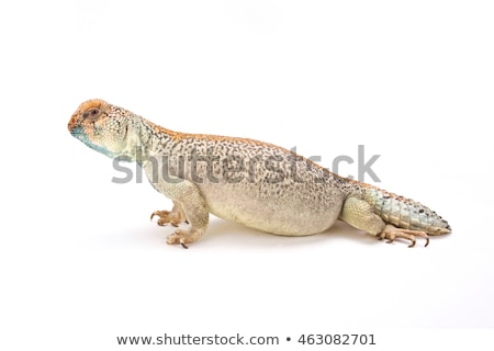 Omani spiny tailed Lizard Stock photo © Klinker