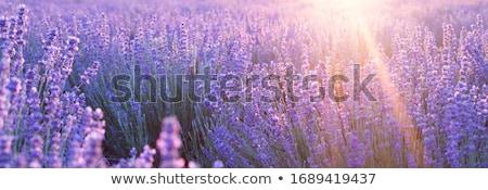Lavanta mor çiçek güzellik mavi Stok fotoğraf © pumujcl