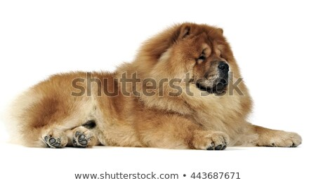 chow chow relaxing in the studio stock photo © vauvau