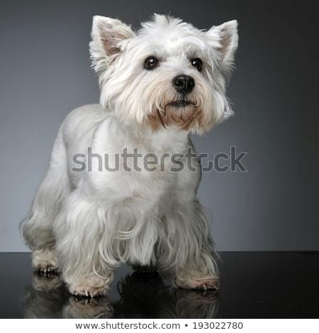 Stock fotó: Nyugat · fehér · terrier · stúdió · asztal · kutya